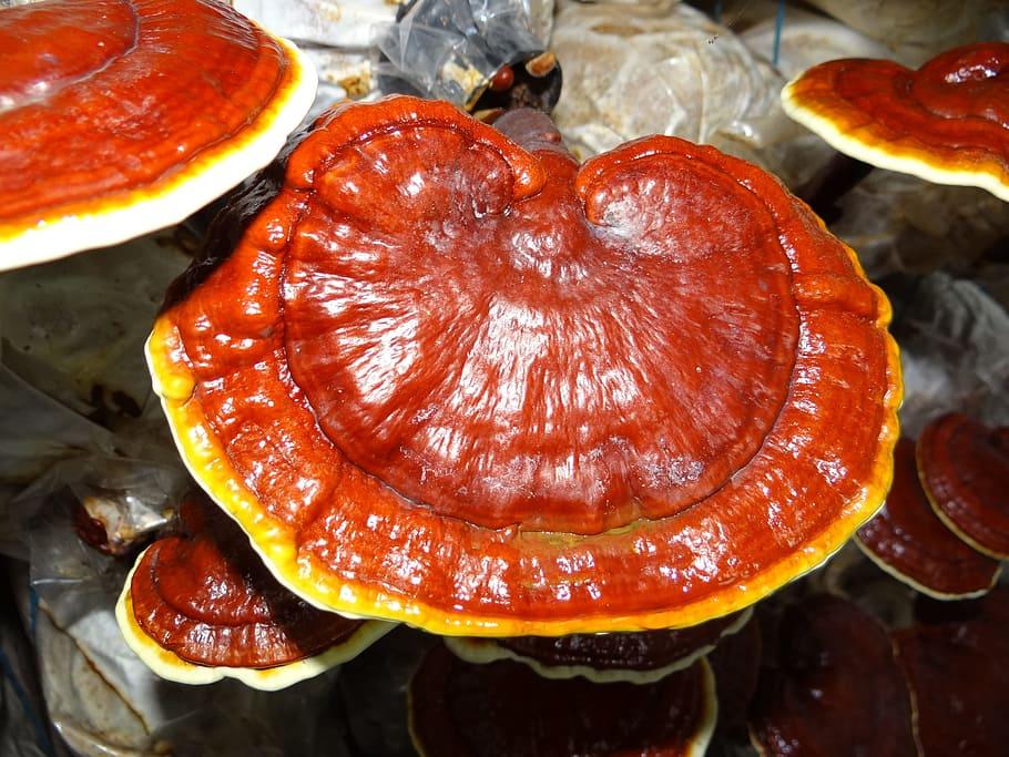 Medicinale paddenstoelen - Reishi