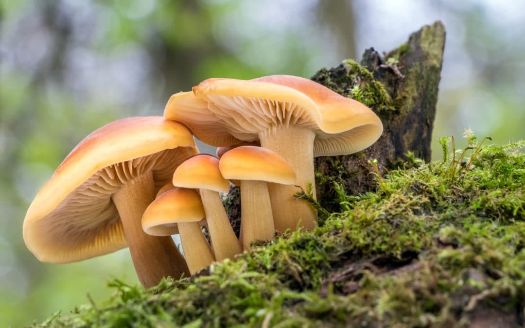 Beta-glucanen – de geneesmiddelen van paddenstoelen